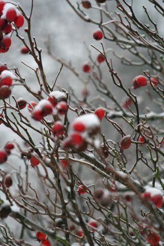 Berries dmparkie