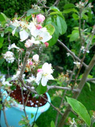 Apple blossoms shae reid